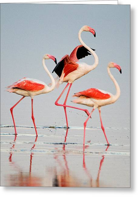 Greater Flamingos Greeting Cards - Greater Flamingos Phoenicopterus Roseus Greeting Card by Panoramic Images