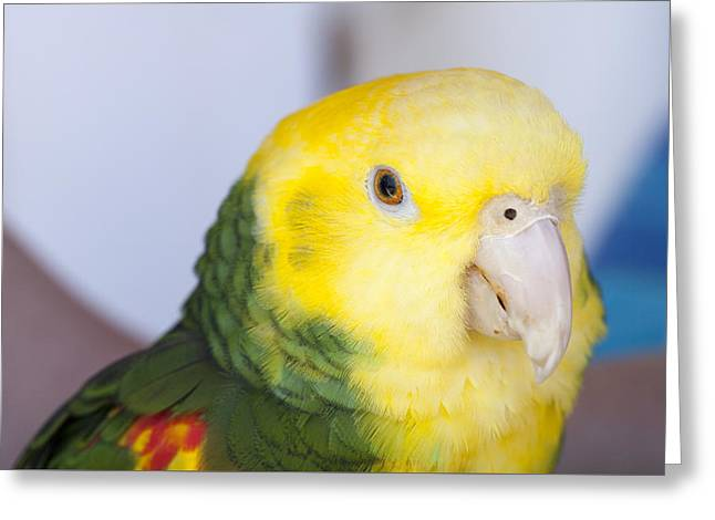 Chatty Greeting Cards - Green and Yellow Parrot at a Community Gathering Greeting Card by Malisa Nicolau