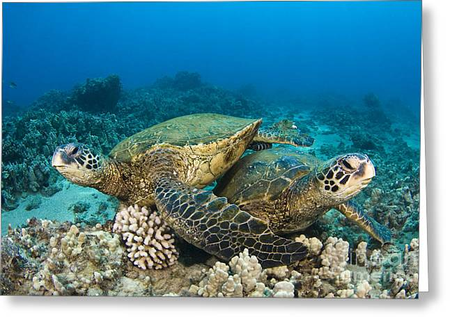 Yapping Greeting Cards - Green sea turtles Greeting Card by Dave Fleetham - Printscapes