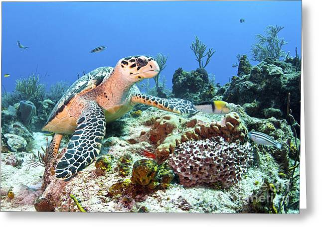 Head In The Water Greeting Cards - Hawksbill Turtle Feeding On Sponge Greeting Card by Karen Doody