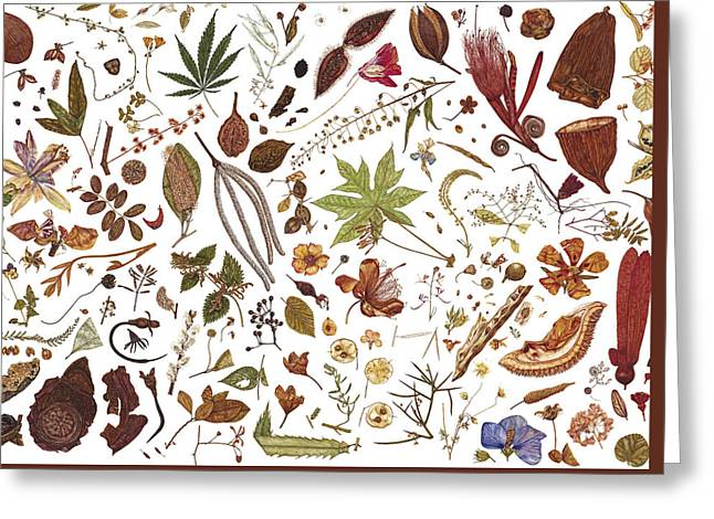 Autumn Drawings Greeting Cards - Herbarium Specimen Greeting Card by Rachel Pedder-Smith