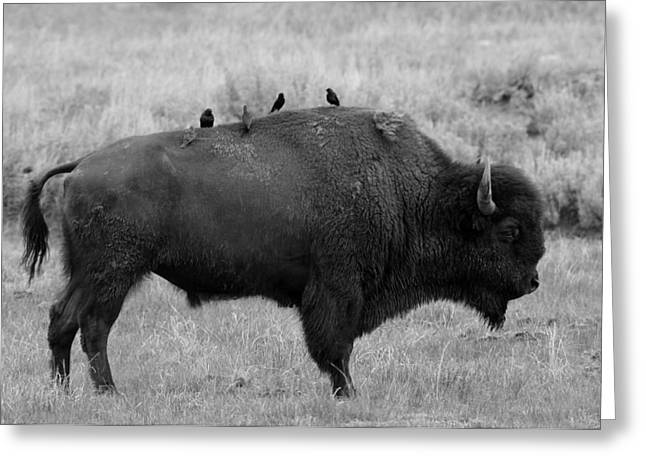 Buffalo Greeting Cards - Hitching A Ride Greeting Card by Skeeze