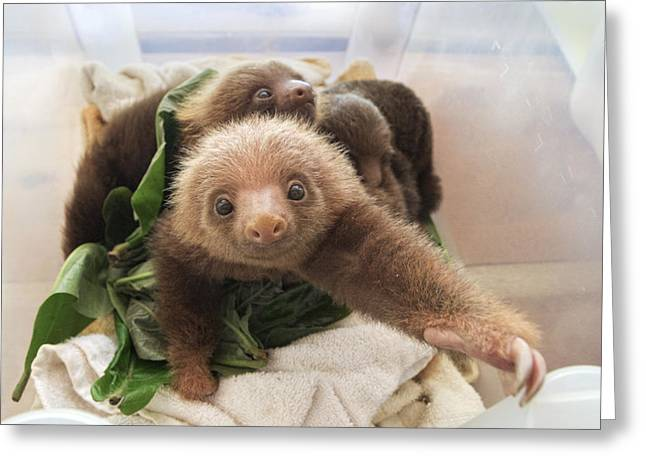 Hoffmanns Two-toed Sloth Choloepus Greeting Card by Suzi Eszterhas