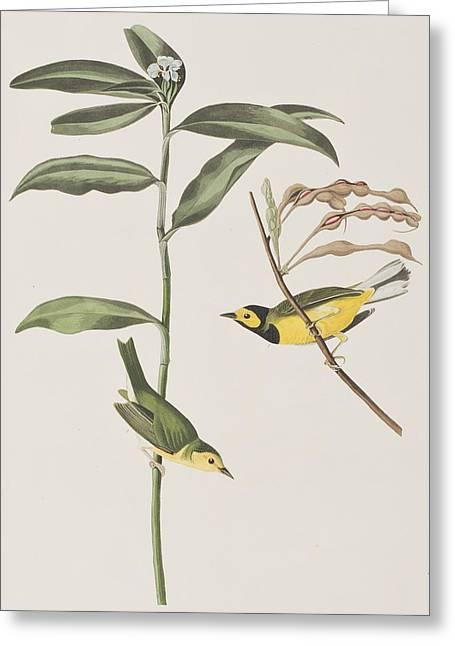 Hooded Warbler  Greeting Card by John James Audubon