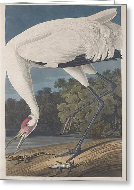 Shorebird Greeting Cards - Hooping Crane Greeting Card by John James Audubon