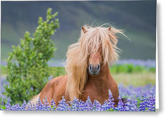 Horse Running By Lupines. Purebred Greeting Card by Panoramic Images