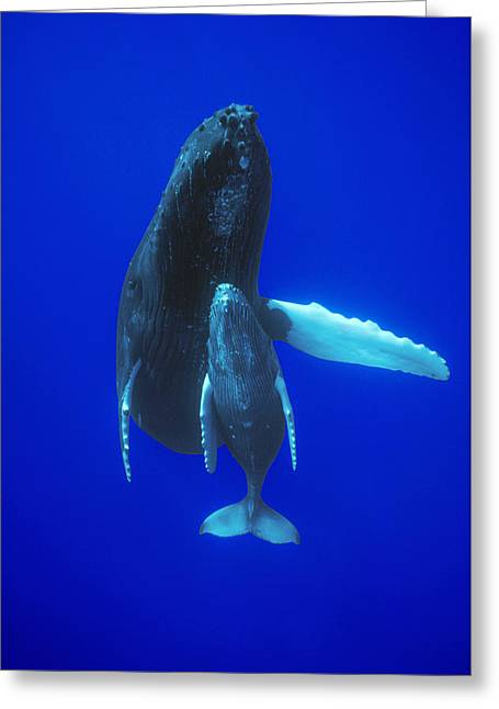Hump Greeting Cards - Humpback Whale Mother And Calf Off Maui Greeting Card by Flip Nicklin