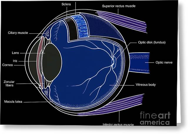 Illustration Of Eye Anatomy Greeting Card by Science Source