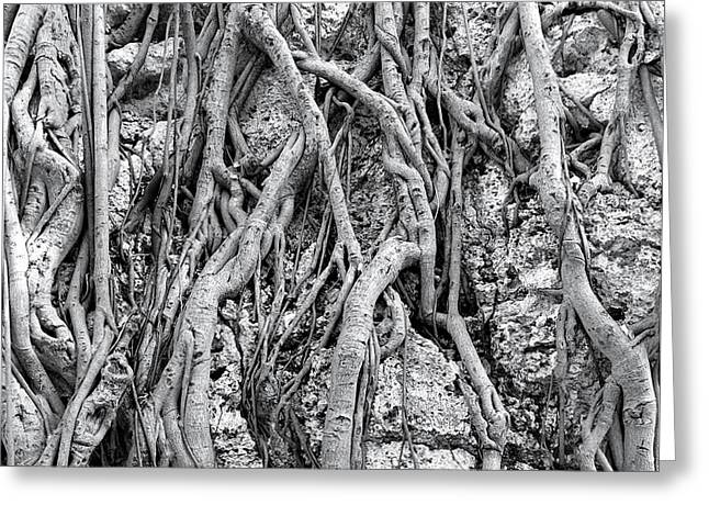 Clinging Greeting Cards - Intricate Aerial Root System of the Banyan Tree Greeting Card by Yali Shi