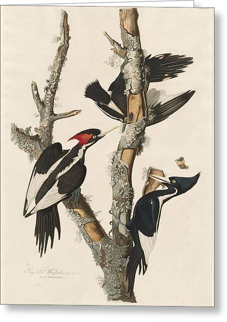 Woodpecker Greeting Cards - Ivory-Billed Woodpecker Greeting Card by John James Audubon