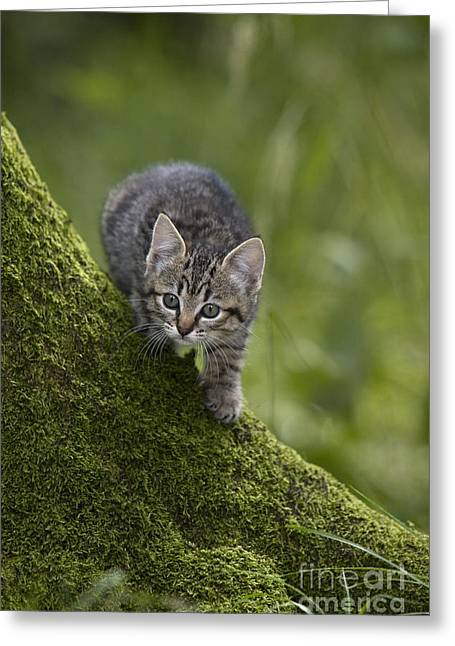 House Pet Greeting Cards - Kitten In A Mossy Tree Greeting Card by Jean-Louis Klein & Marie-Luce Hubert