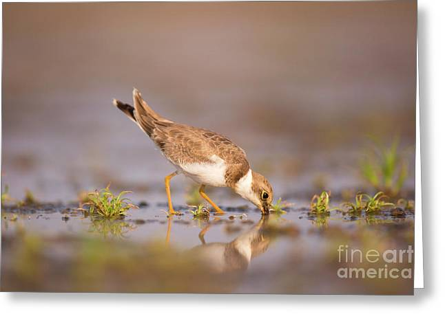 Little Ringed Plover Charadrius Dubius Greeting Card by Alon Meir