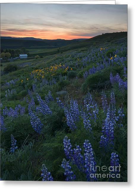 Kittitas Valley Greeting Cards - Lupine Sunset Greeting Card by Mike Dawson