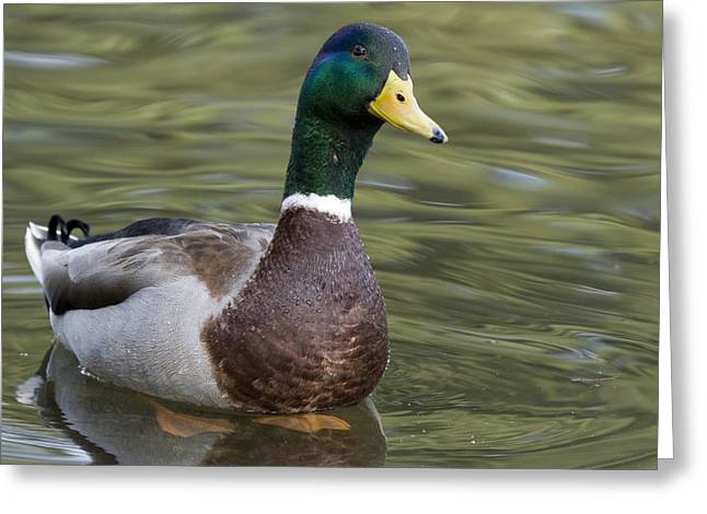Monterey Bay Image Greeting Cards - Mallard Drake Santa Cruz Monterey Bay Greeting Card by Sebastian Kennerknecht