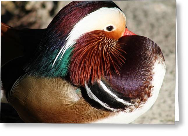 Period Pyrography Greeting Cards - Mandarin Duck Greeting Card by Valia Bradshaw
