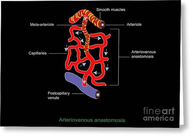 Arteriole Greeting Cards - Microcirculation, Artwork Greeting Card by Francis Leroy, Biocosmos