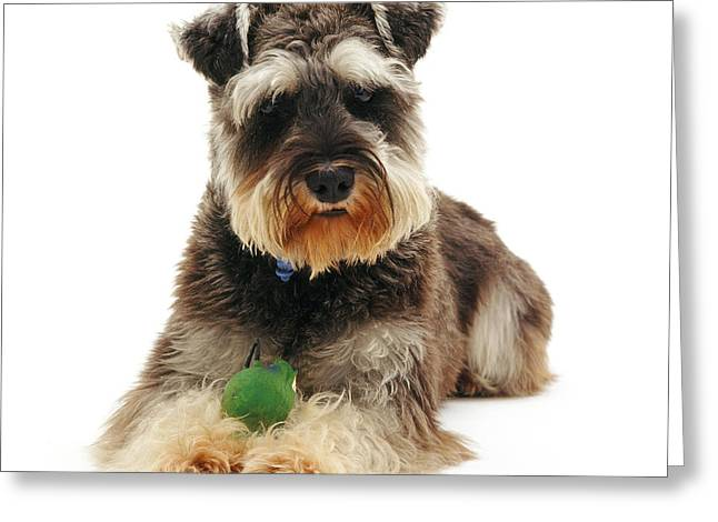 Cute Schnauzer Greeting Cards - Miniature Schnauzer Greeting Card by Jane Burton