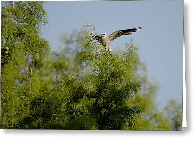 Hunting Bird Greeting Cards - Mississippi Kite Treetop Landing Greeting Card by Roy Williams