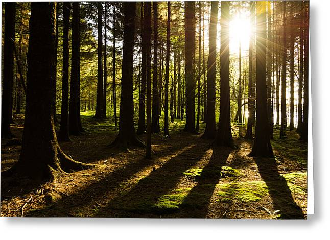 Woodland Scenes Greeting Cards - Morning Light Shining Through Pine Forest. Greeting Card by Daniel Kay