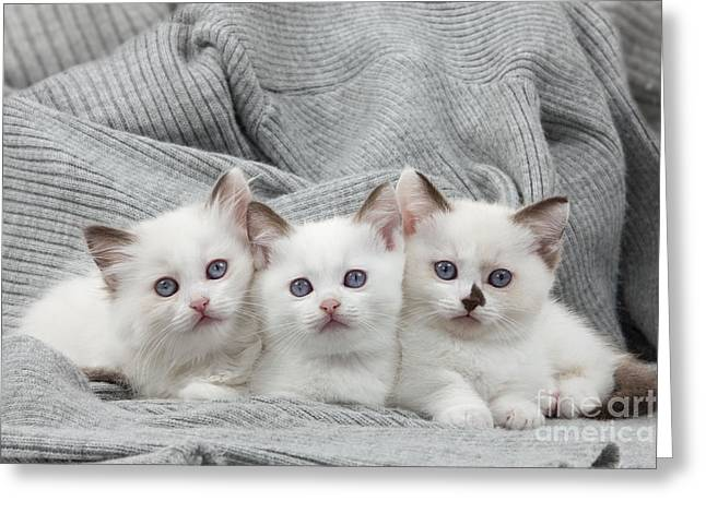 On Blanket Greeting Cards - Munchkin Kittens Greeting Card by Jean-Michel Labat