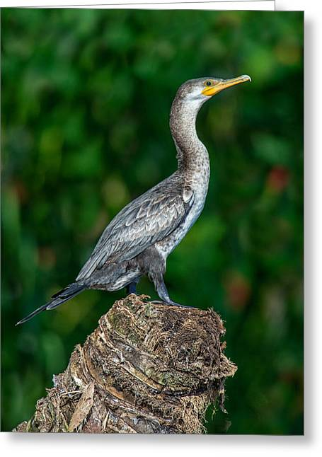 Cormorant Greeting Cards - Neotropic Cormorant Phalacrocorax Greeting Card by Panoramic Images