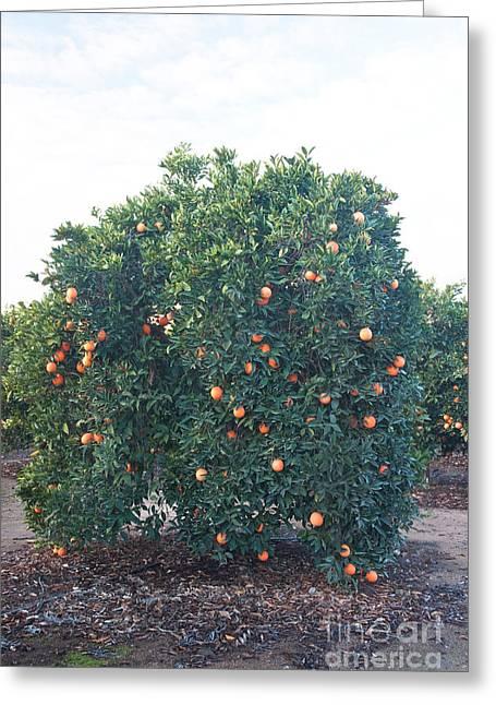 California Agriculture Greeting Cards - Orange Tree Bearing Fruit Greeting Card by Inga Spence