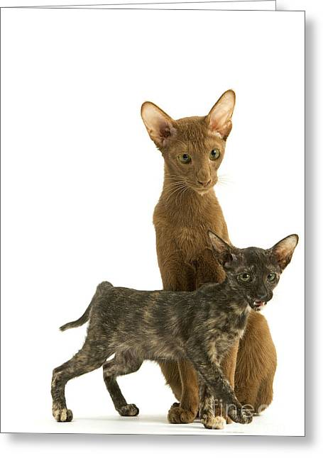 Tortie Greeting Cards - Oriental Cat And Kitten Greeting Card by Jean-Michel Labat