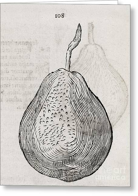 One Pear Greeting Cards - Pear, 16th Century Greeting Card by Middle Temple Library