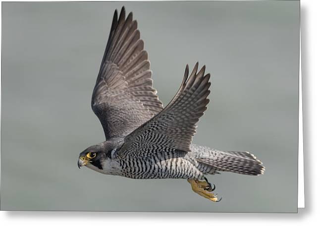 Peregrine Falcon Greeting Card by Ian Hufton