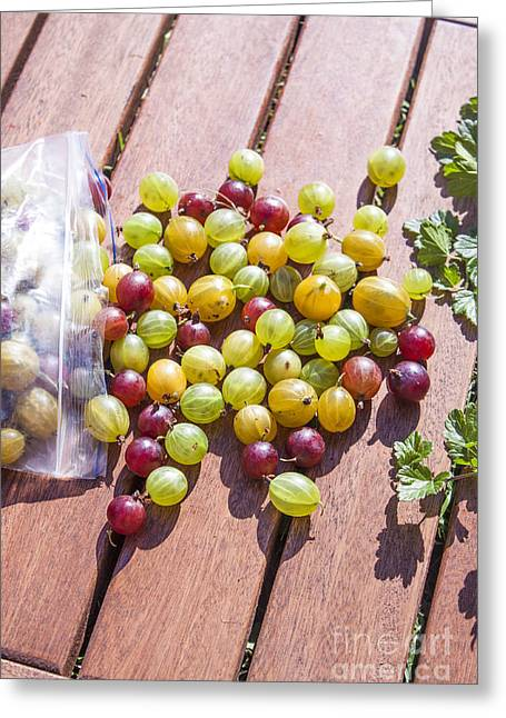 Berry Greeting Cards - Picking gooseberries Greeting Card by Daniel Ronneberg