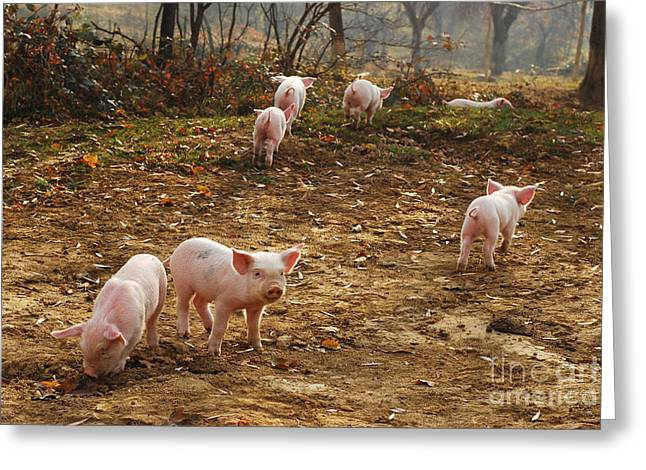 Piglets Greeting Cards - Piglets Greeting Card by Cristian M Vela