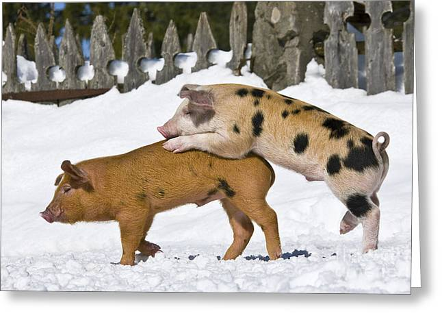 Litter Mates Photographs Greeting Cards - Piglets Playing In Snow Greeting Card by Jean-Louis Klein & Marie-Luce Hubert