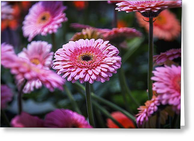 Gerbera Daisies Greeting Cards - Pink Gerbera Daisy Greeting Card by Garry Gay