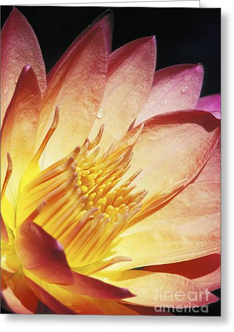 Nature Center Pond Greeting Cards - Pink Water Lily Greeting Card by Bill Brennan - Printscapes