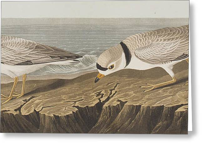 Ocean Shore Drawings Greeting Cards - Piping Plover Greeting Card by John James Audubon