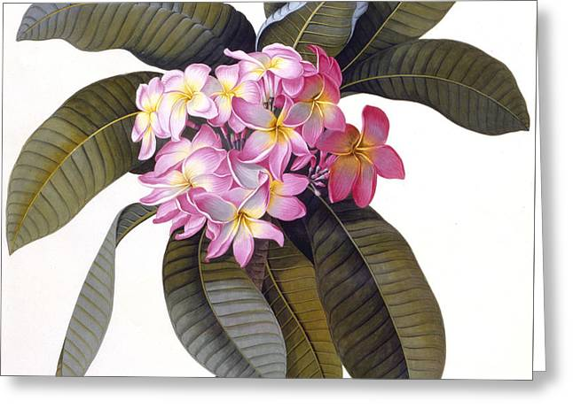 Pink Blossoms Drawings Greeting Cards - Plumeria Greeting Card by Georg Dionysius Ehret