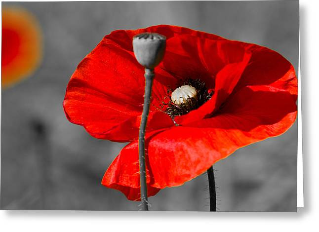 Close Up Floral Pyrography Greeting Cards - Poppy Greeting Card by Peteris Vaivars
