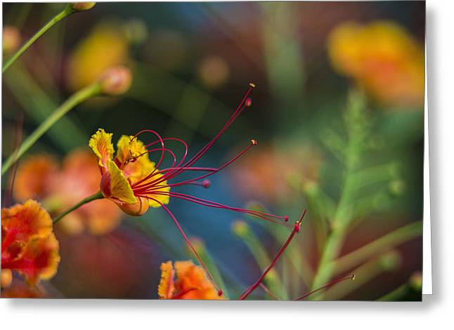 Close Focus Nature Scene Greeting Cards - Pride Of Barbados  Caesalpinia Greeting Card by F. M. Kearney