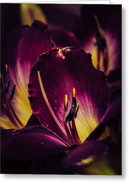 Day Lilly Greeting Cards - Purple hybrid Daylily Greeting Card by Gene Camarco