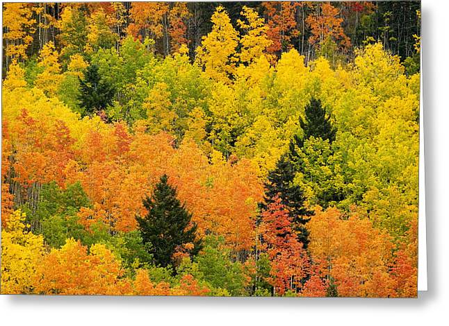 Autumn Scenes Greeting Cards - Quaking Aspen And Ponderosa Pine Trees Greeting Card by Ralph Lee Hopkins