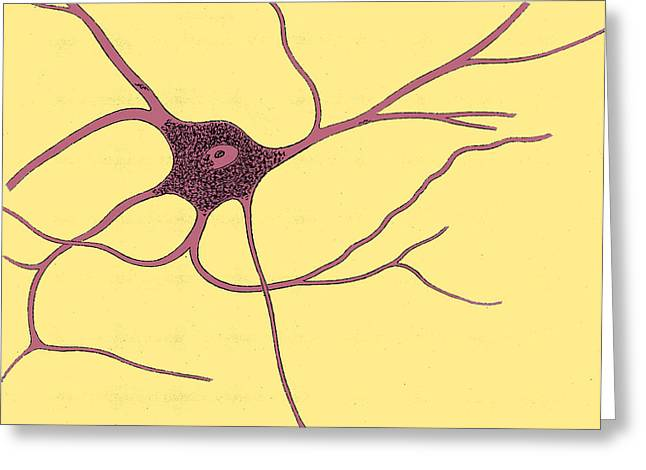 Microbiology Greeting Cards - Ramified Nerve Cell From Grey Matter Greeting Card by Science Source