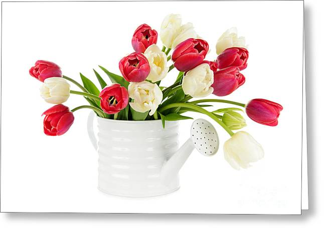 Watering Can Greeting Cards - Red and white tulips Greeting Card by Elena Elisseeva