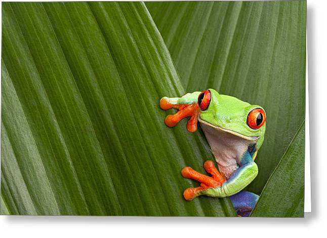 Frogs Photographs Greeting Cards - Red Eyed Tree Frog  Greeting Card by Dirk Ercken