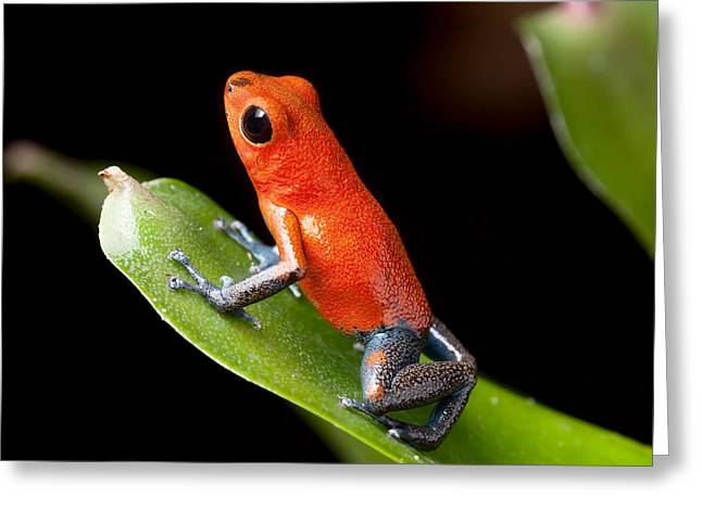 Amphibian Greeting Cards - Red Poison Dart Frog Greeting Card by Dirk Ercken