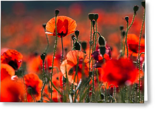 Blooming Pyrography Greeting Cards - Red poppy Greeting Card by Peteris Vaivars