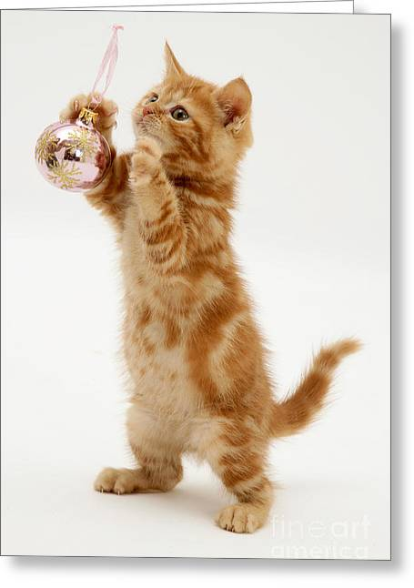 Science Collection - Greeting Cards - Red Tabby Kitten With An Ornament Greeting Card by Jane Burton
