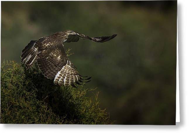 Hawks Greeting Cards - Red Tailed Hawk Greeting Card by Noah Bryant
