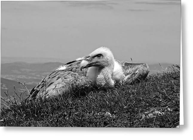 Ground Level Greeting Cards - Resting Vulture Greeting Card by Wolfgang Zimmel