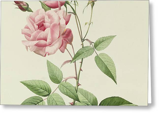 Rosa Indica Vulgaris Greeting Card by Pierre Joseph Redoute
