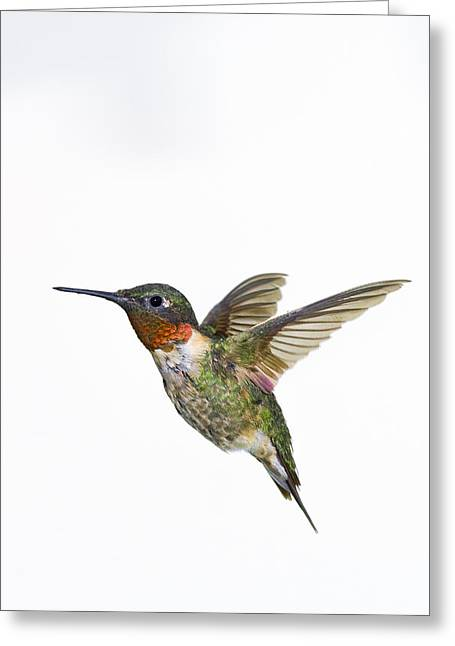 Descriptors Greeting Cards - Ruby-throated Hummingbird Archilochus Greeting Card by Thomas Kitchin & Victoria Hurst